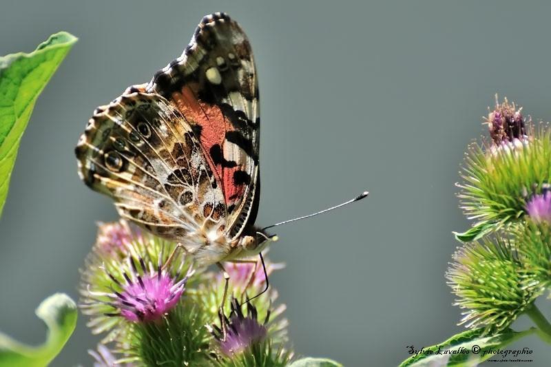 Serie papillon Dsc_8718-2-800-s