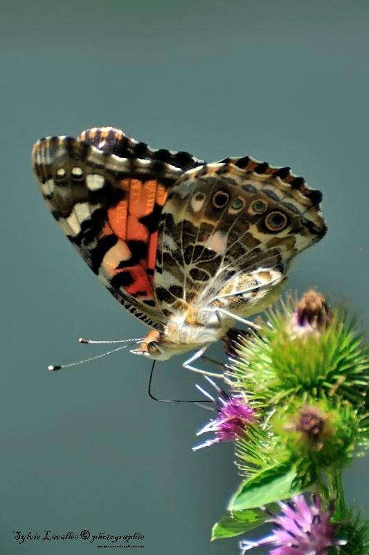 Serie papillon Dsc_8749-2-800-s