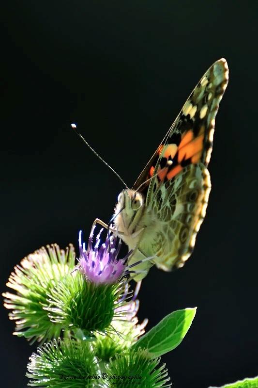 Serie papillon Dsc_8797-2-800-s
