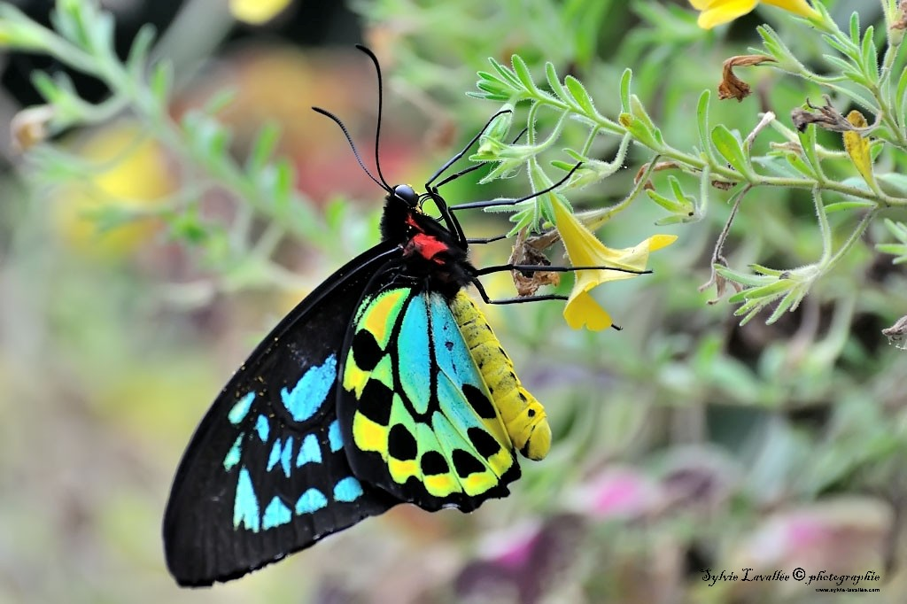 Serie Papillon Dsc_9361-2-1024-s