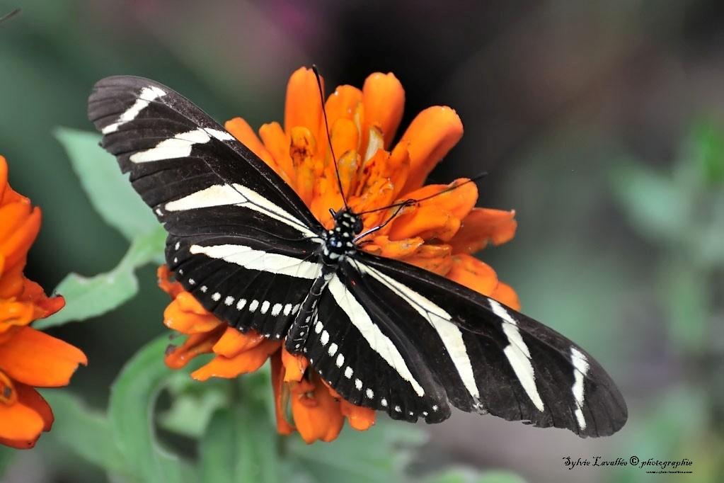 Serie Papillon Dsc_9368-2-1024-s