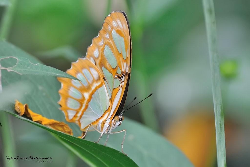 Serie Papillon Dsc_9375-2-1024-s