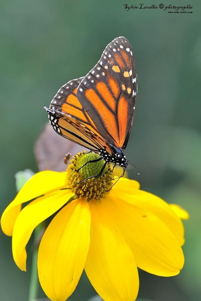 Serie Papillon Dsc_9381-2-1024-s