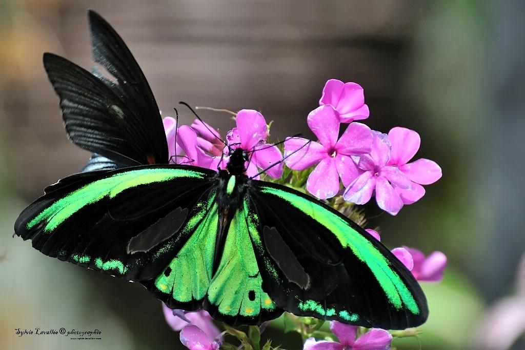 Serie Papillon Dsc_9422-2-1024-s