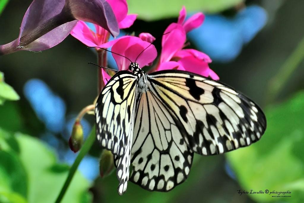 Serie Papillon Dsc_9427-2-1024-s