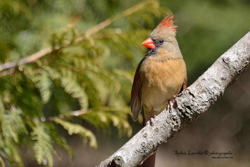 Cardinal (femelle) Dsc_2107-2-1024-s