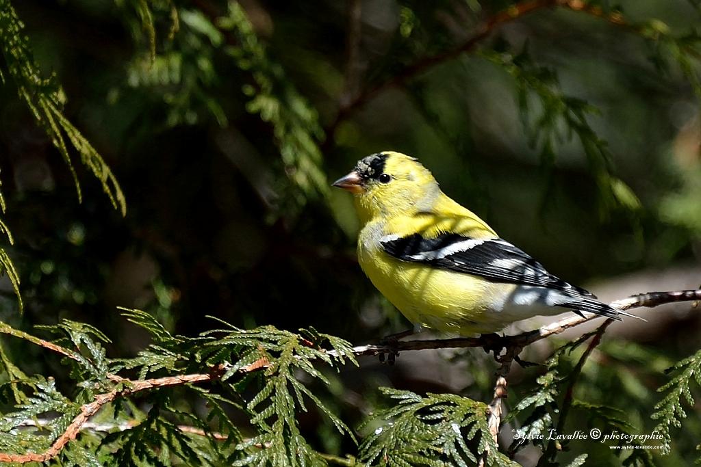 Chardonneret jaune Dsc_2492-2-1024-s