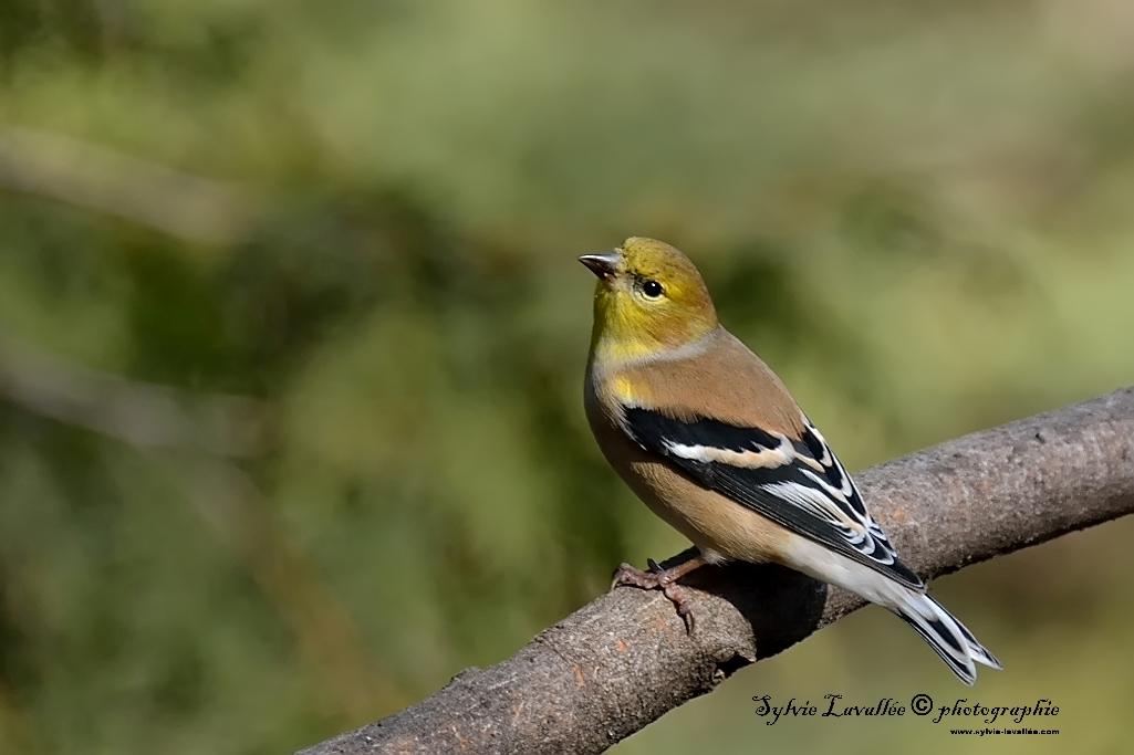 Chardonneret (plumage hiver ) ou Pinson ? Dsc_5024-2-1024-s