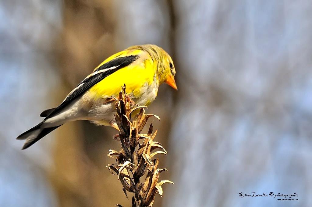 Mes petit amis oiseaux Dsc_8506-2-1024-s