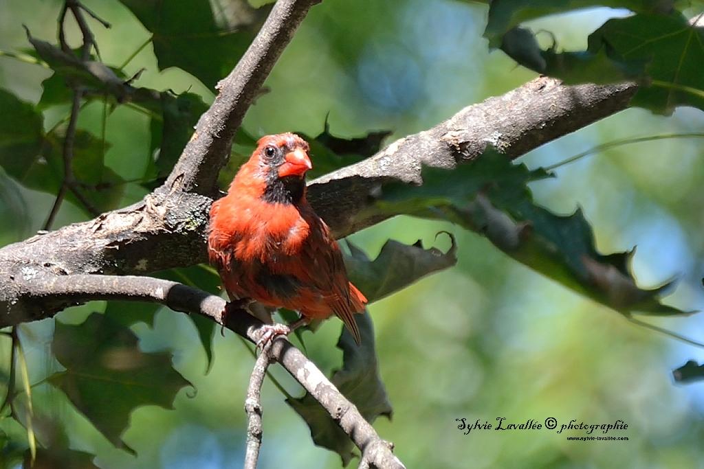 cardinal rouge Dsc_9741-2-1024-s