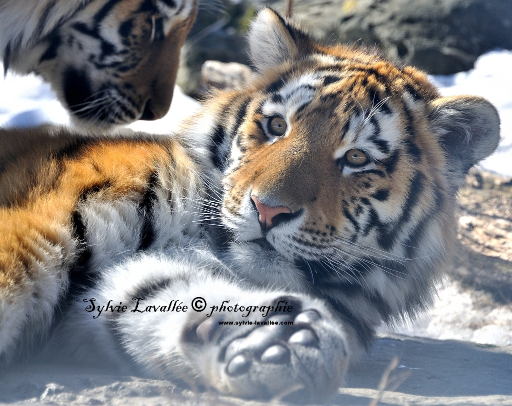 Léopard des neiges et tigre Dsc_2174-2-1024-s