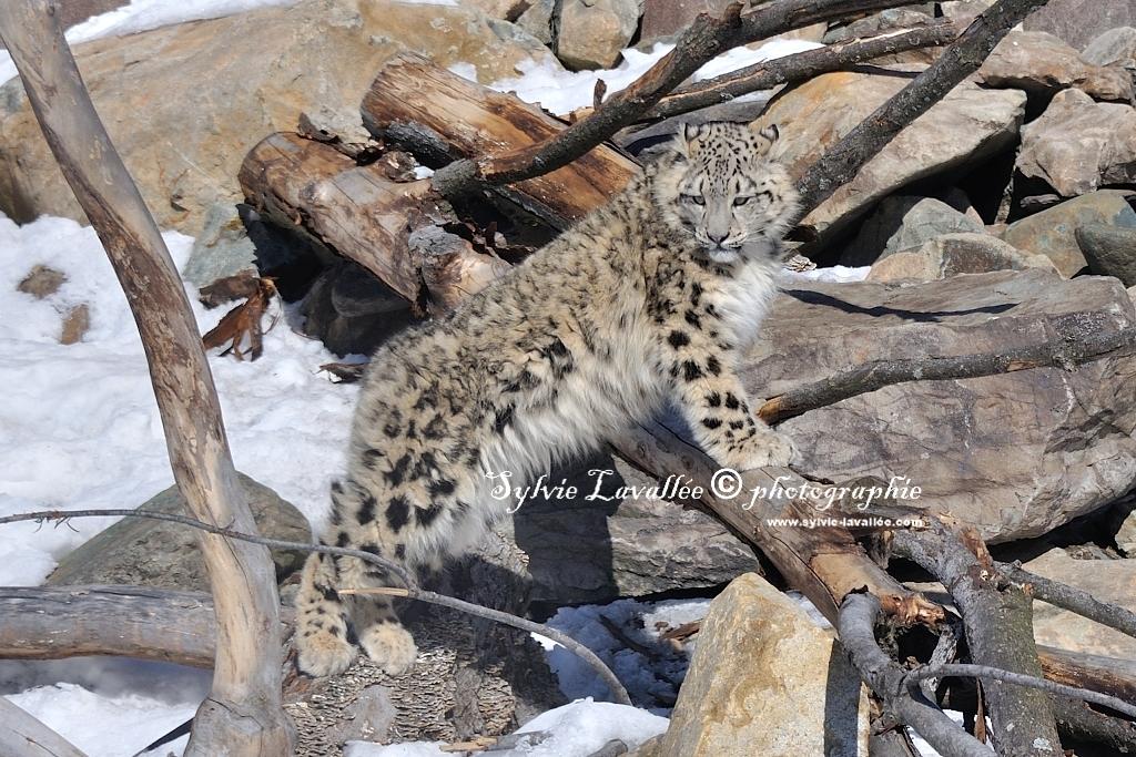 Léopard des neiges et tigre Dsc_2255-2-1024-s