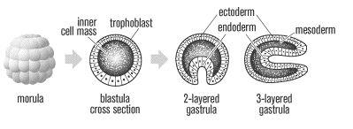 Philosophie holistique et modèle systémique Gastrula