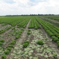 Zelena salata           6ijTIaLO