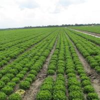 Zelena salata           CMzJTNKM