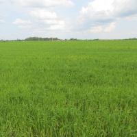 Pšenica           PRjau2HK
