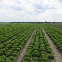 Zelena salata           PocXO6NZ