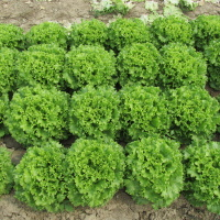 Zelena salata           CC9SdSQU