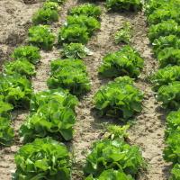 Zelena salata           HiQwpyt4
