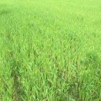 Pšenica           YbaiUozb