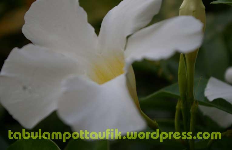 hobi photograph - Page 3 Mandevilla_white