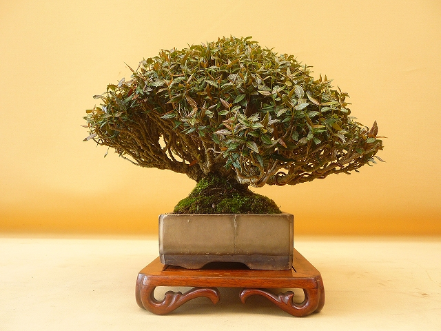 """Refurbishing a Japanese Maple - the """"Hedge Cutting Method"""" - Page 2 640l"""