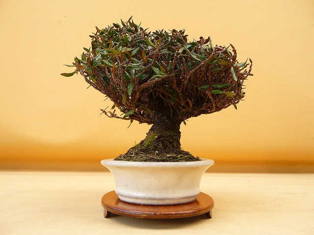 """Refurbishing a Japanese Maple - the """"Hedge Cutting Method"""" - Page 2 640r"""
