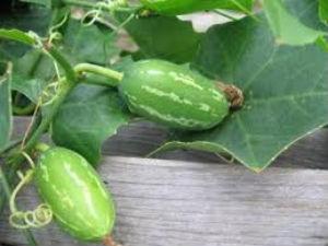 கண்களுக்குக் குளிர்ச்சி தரும் கோவைக் கீரை! 31-kovai-kai-leaves