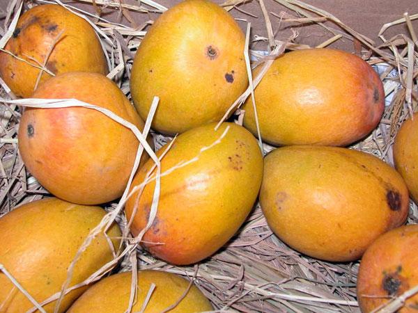 நாவில் நீர் ஊற வைக்கும் சில இந்திய மாம்பழங்கள்!!! 11-1370945919-badami-mangao-600