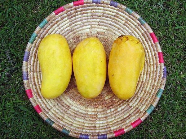 நாவில் நீர் ஊற வைக்கும் சில இந்திய மாம்பழங்கள்!!! 11-1370946100-sindura-mango-6003