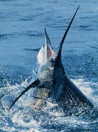 Pez Vela recomendación equipos SHIMANO Jumping_sailfish_3X4