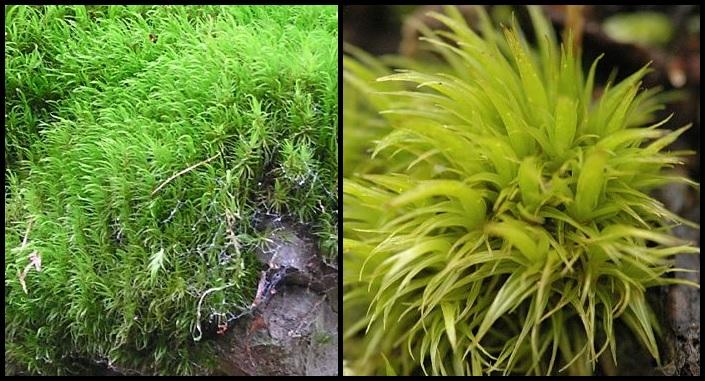 Dicranum scoparium Dicranum_scoparium