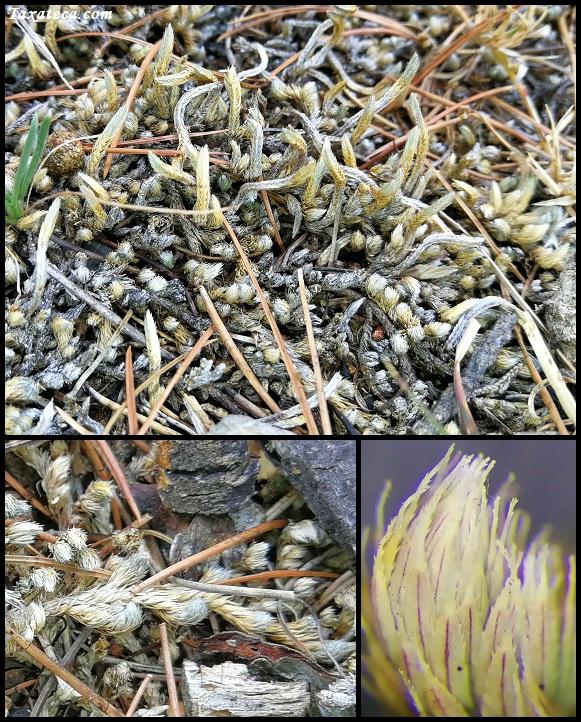 Selaginella wrightii Selaginella_wrightii