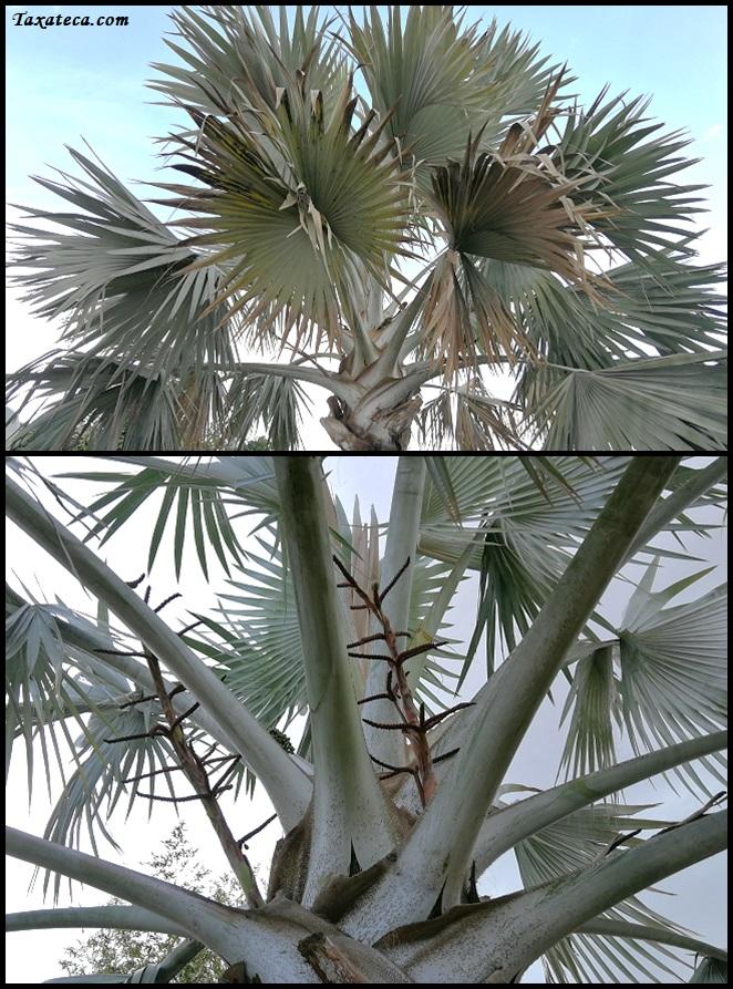 Bismarckia nobilis Bismarckia%20nobilis