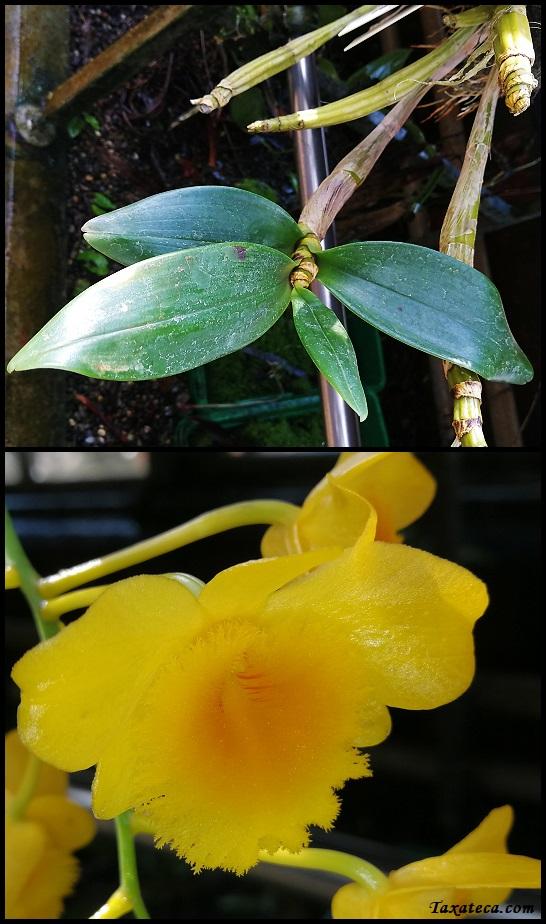 Dendrobium chrysotoxum Dendrobium_chrysotoxum
