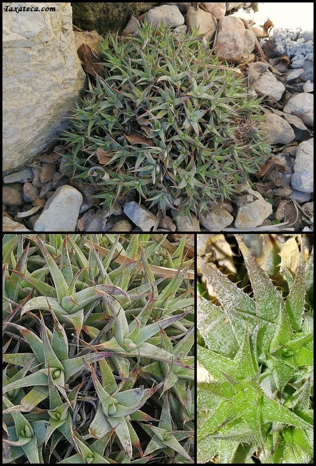 Abromeitiella brevifolia Deuterocochnia_brevifolia