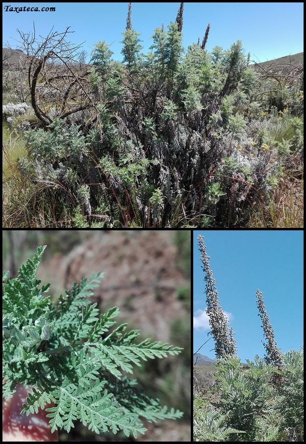 Artemisia afra Artemisia_afra