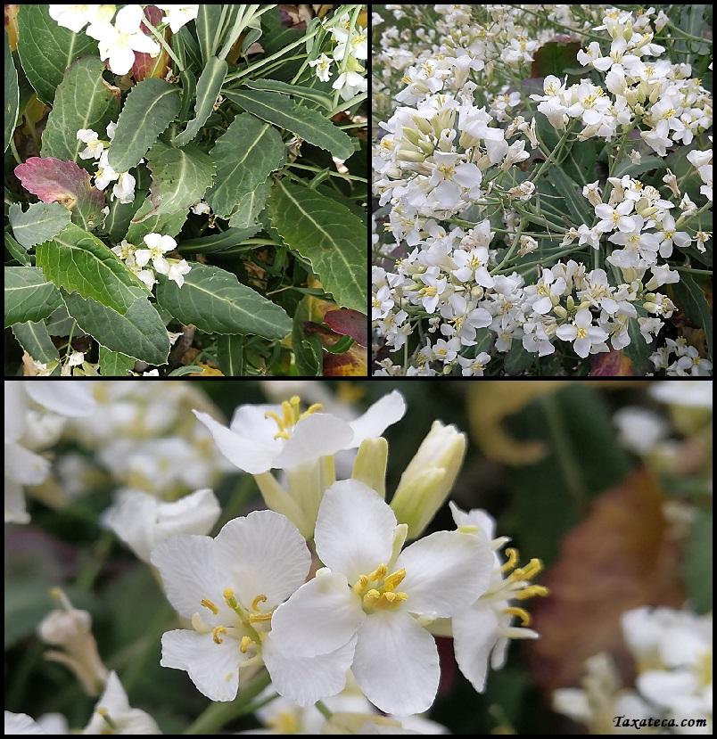 Brassica insularis Brassica_insularis