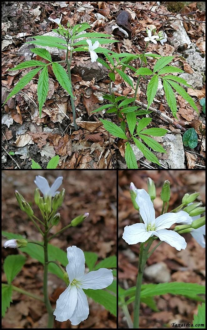 Cardamine heptaphylla Cardamine_heptaphylla