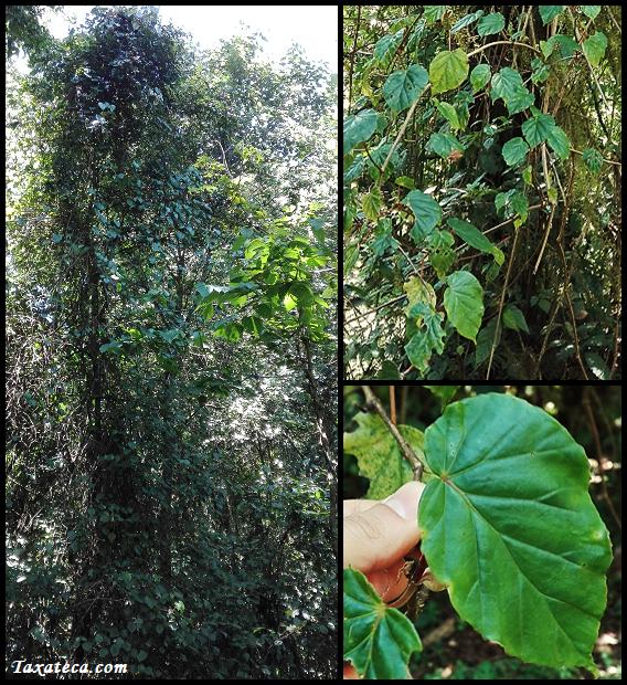 Begonia meyeri-johannis Begonia_meyeri-johannis