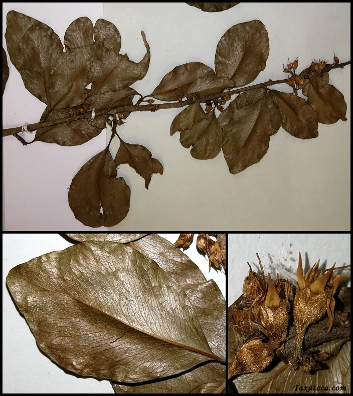Capurodendron costatum Capurodendron_costatum