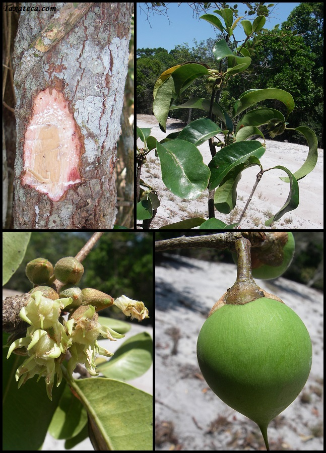 Capurodendron delphinense Capurodendron_delphinense