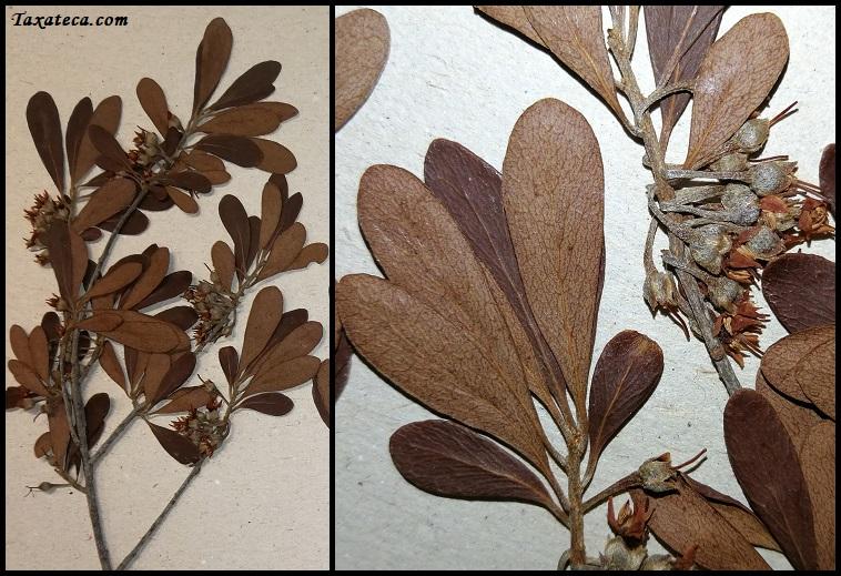 Capurodendron microphyllum Capurodendron_microphyllum