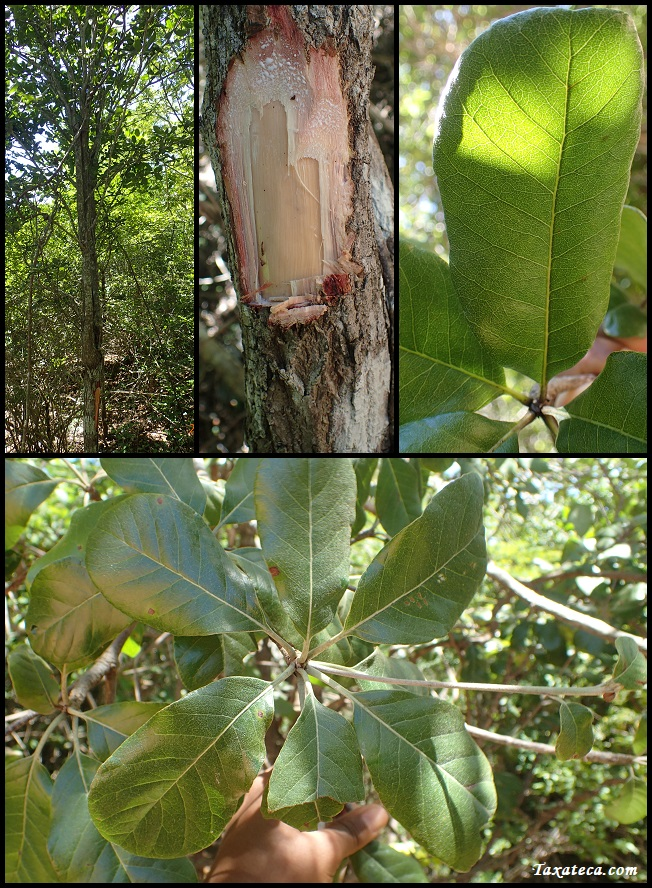 Capurodendron nodosum Capurodendron_nodosum