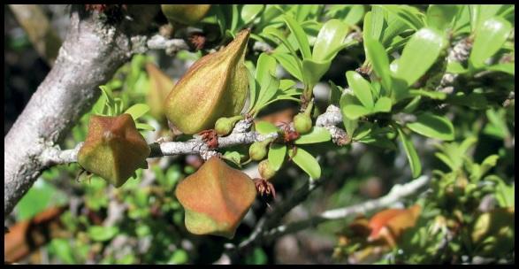 Capurodendron sahafariense Capurodendron_sahafariense