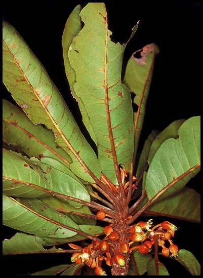 Capurodendron schatzii Capurodendron_schatzii