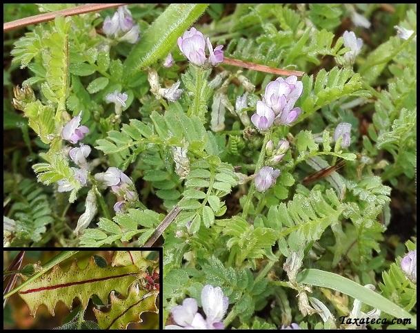 Astragalus pelecinus Astragalus_pelecinus
