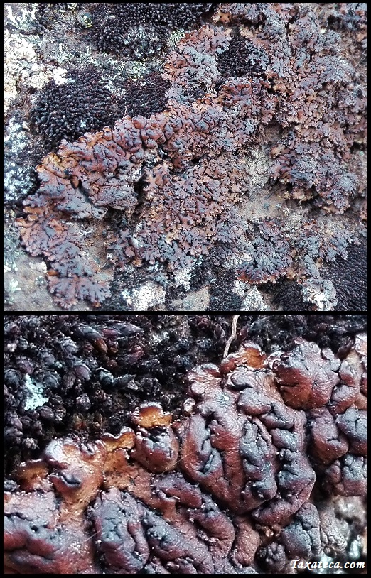 Hypogymnia bitteri Hypogymnia_bitteri3