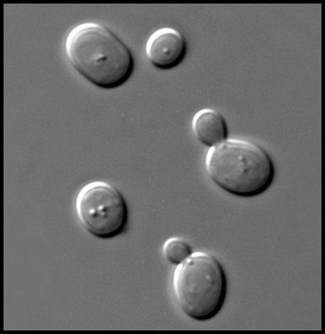 Saccharomyces cerevisiae Saccharomyces_cerevisiae