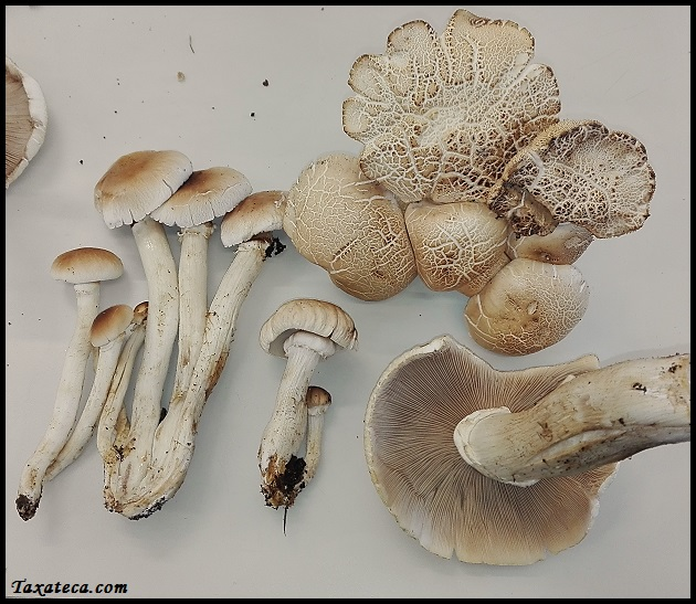 Agrocybe cylindracea Cyclocybe_cylindracea
